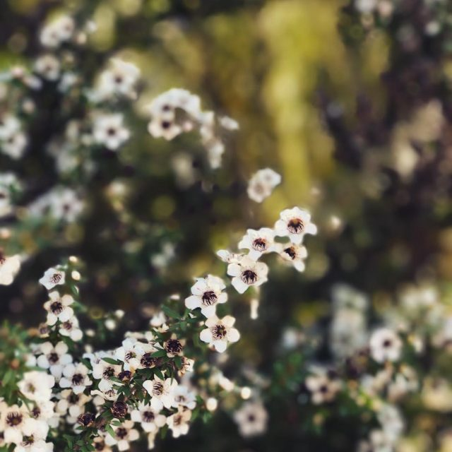 Check out this exquisite NZ tea tree  manuka flowerhellip